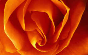 цветы, роза, розы