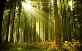 лес, хвойный, разных