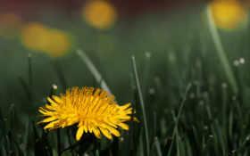 одуванчик, цветок