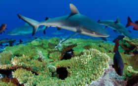 рыбы, море, акулы