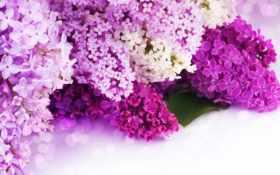 сиреневый, цветы Фон № 80688 разрешение 2560x1440