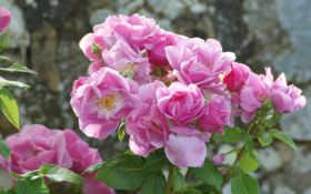 розы Фон № 27773 разрешение 1920x1200