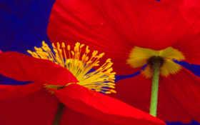 poppies, icelandic, flowers