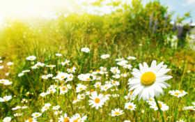 цветы, ромашки, поле