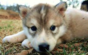щенок, собака Фон № 6148 разрешение 1920x1200