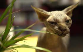 сфинкс, кошка