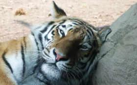 тигр, большой