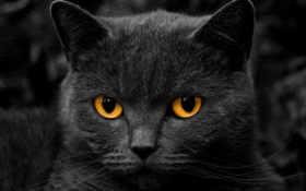 черный, кот