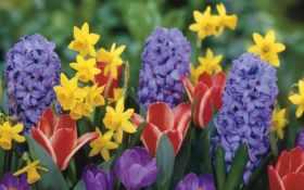 крокусы, тюльпаны, гиацинты