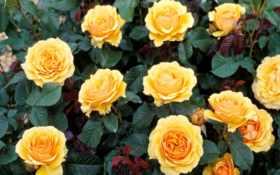 розы, желтые, возможность
