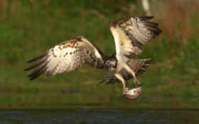 орел поймал рыбу
