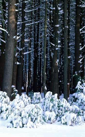 снег, лес, деревья