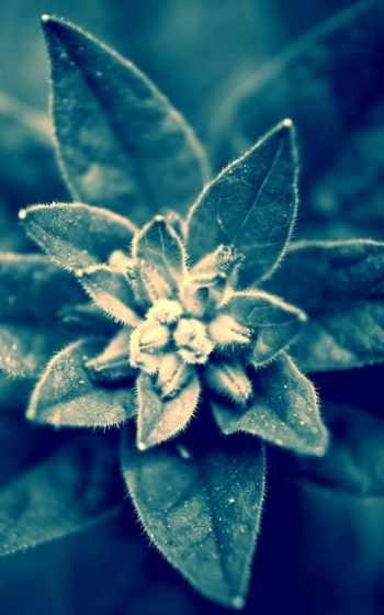 edelweiss,