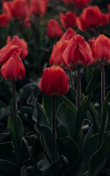 тюльпан, wild,