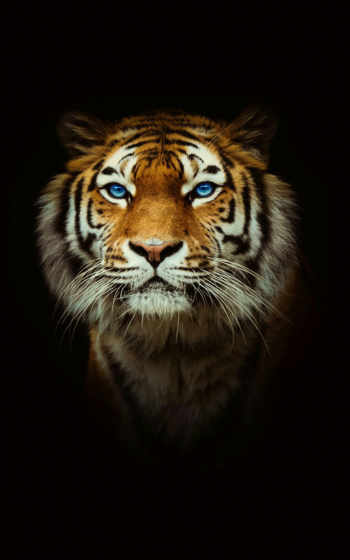 tigers, тигр, pinterest, биг, фото, what, animals, кот,