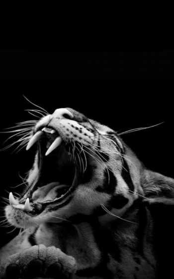 тигр, бенгальский,