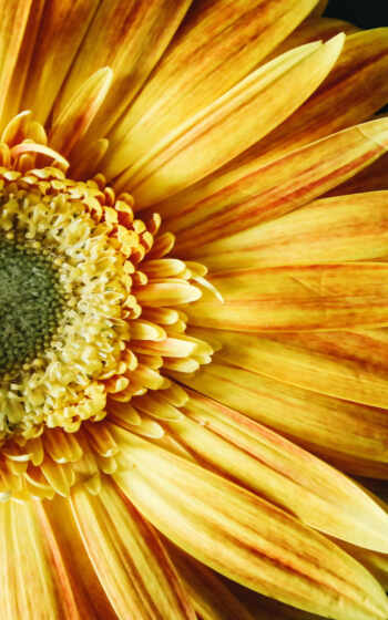 daisy, gaithersburg, цветы