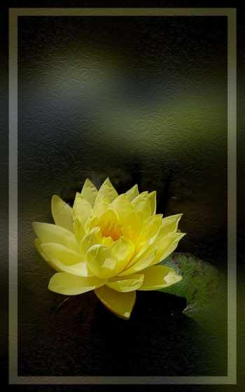 water, lily,