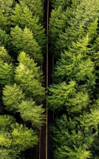 pine, white, eastern, russian