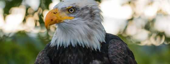 орлан, белоголовый, птица, хищник, free,