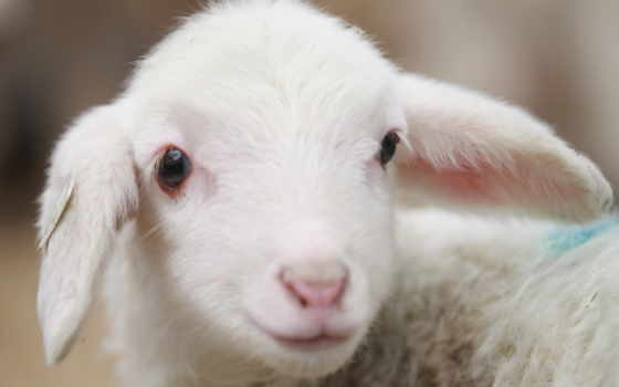 sheep, animal, животные