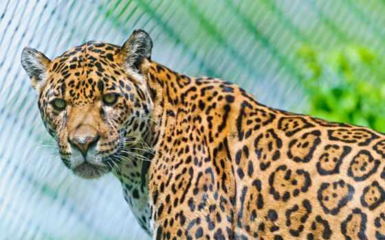 giaguaro, sfondi, per