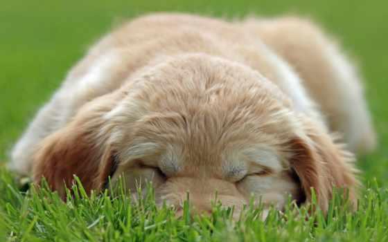 щенок, собака, глаза, labrador, preview,