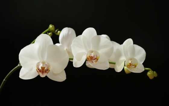 орхидеи, орхидея, white, фаленопсис, комнатные, доставка, растения, белая, цветы, black,