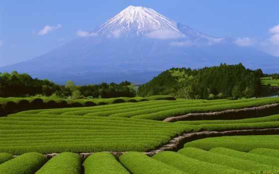 чайные, бывают, плантации, чайная, плантация, котором, кусты, растут, земли, сайт, они,