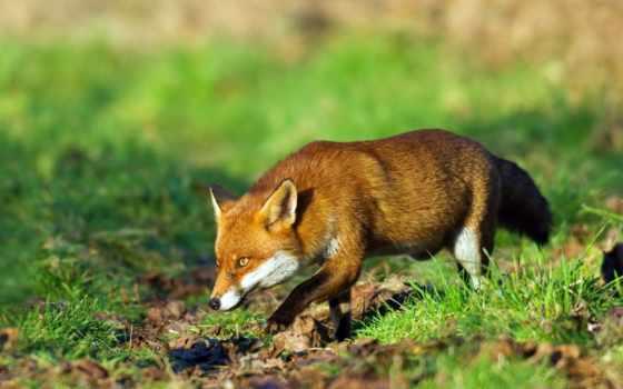 фокс, лису, лисы, hunting, охоты, красивые, но,