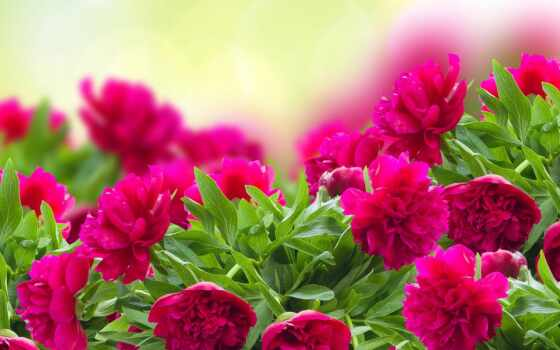 цветы, красивый, природа, пион, розовый, animal, яркий, рамочка, девушка, cvety, авто