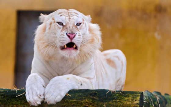 тигры, белые, тигра