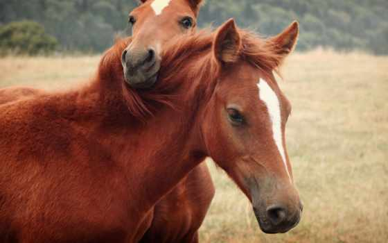лошади, лошадей,