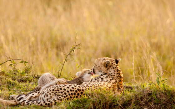 леопарды, дек, нояб