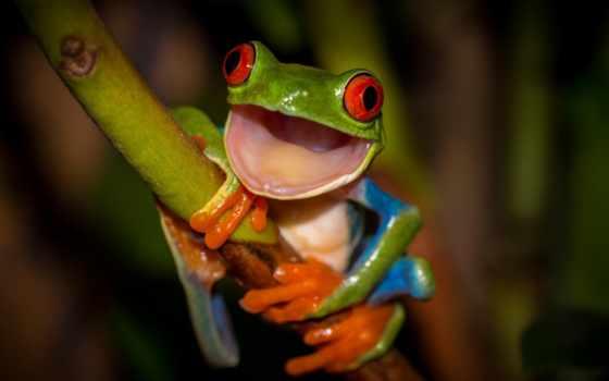 лягушка, zhivotnye, лягушки, прикольные, стебель, зелёная, красные,
