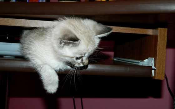 кот, сиамский, syjamski, tapety, kot, пл, серый, прогнозы, кошки, tapet,