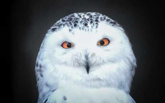 snowy, owls, сова