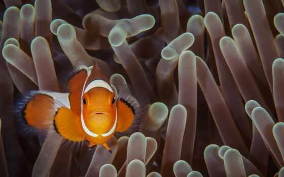 fish, animal, клоун, coral, anemone, ocellaris, море, life, ocean, underwater, тема