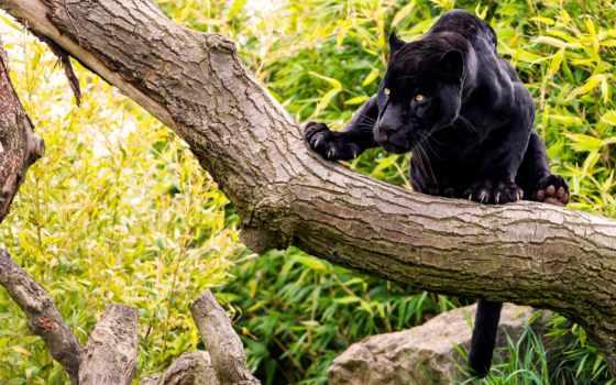 jaguar, black, пантера, животные, кошки, пантеры, ягуары, большие, кот, леопард,