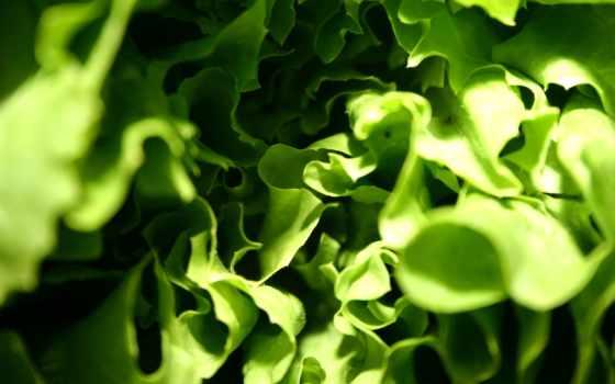 салат, листва, взгляд
