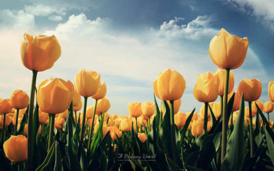 цветы, тюльпаны, лепестки