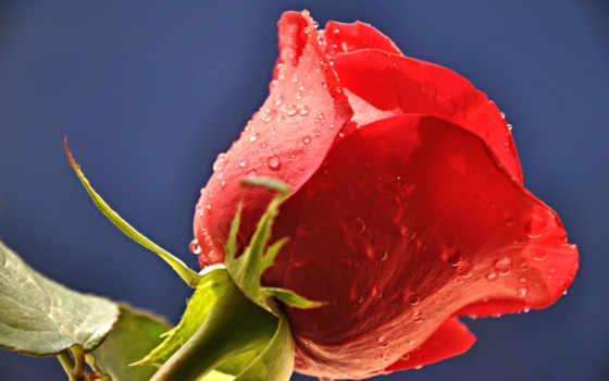 roses, изображение, chat