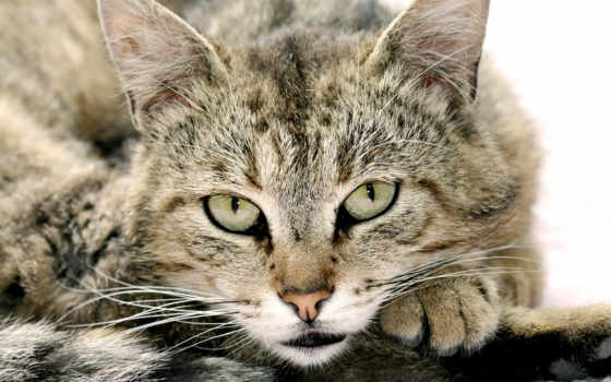 морда, кота, разных, разрешениях, красивые, zhivotnye, фотографий, серый,