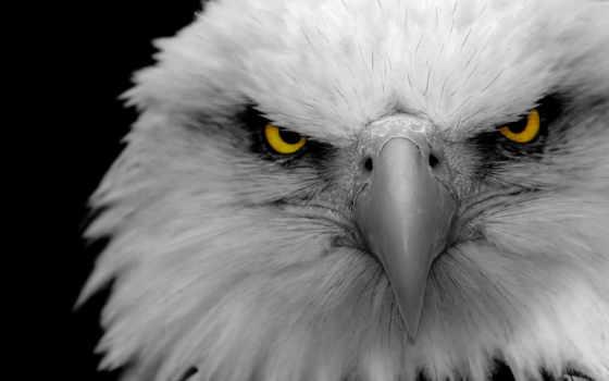 орлан, глаз, лысый, выбор, eagles, desktop, pictures, показать, uncategorized,