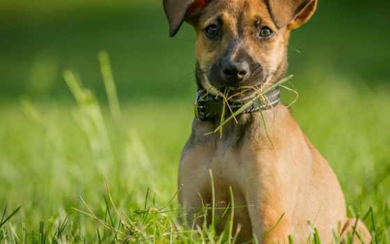 собака, rf, бельгийский, щенок, malinois, овчарка, images, хороший, companion,