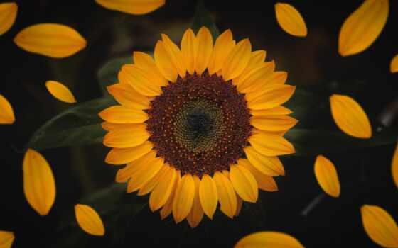 подсолнух, цветы, лепестки, flora, растение, природа, commercial, букет, окно, фон, unsplash