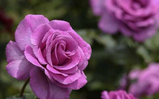 цветы, пина, роза, род, user, garden, pinterest, утро, доска