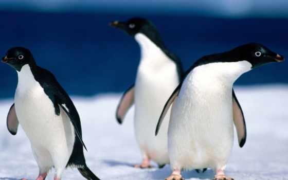 пингвины, смешные, птицы
