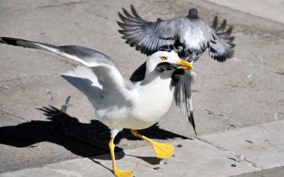 голубь, чайка, птицы, картинка, обстановка,