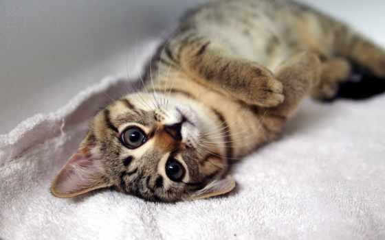 кот, лежит, спине, полосатая, свет, округлив, кошки,